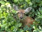 A deer grazes in the underbrush