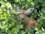 A deer grazes in the underbrush