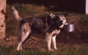 An adult husky