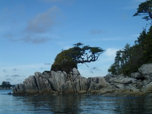 a wind-sculpted tree on rocky shore