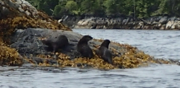 three otters on a rock