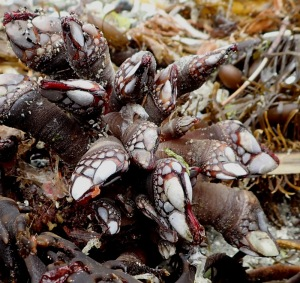 a close up of gooseneck barnacles