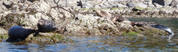 seals on seaside rocks