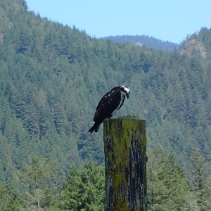 An Osprey perched atop a piling