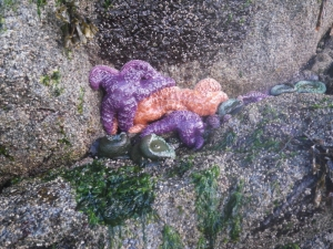 a knot of sea stars and anemones are revealed by low tide