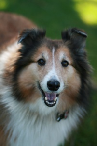 headshot of our shelty, Scotia