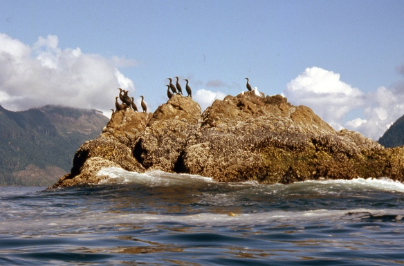cormorants on a rocky reef
